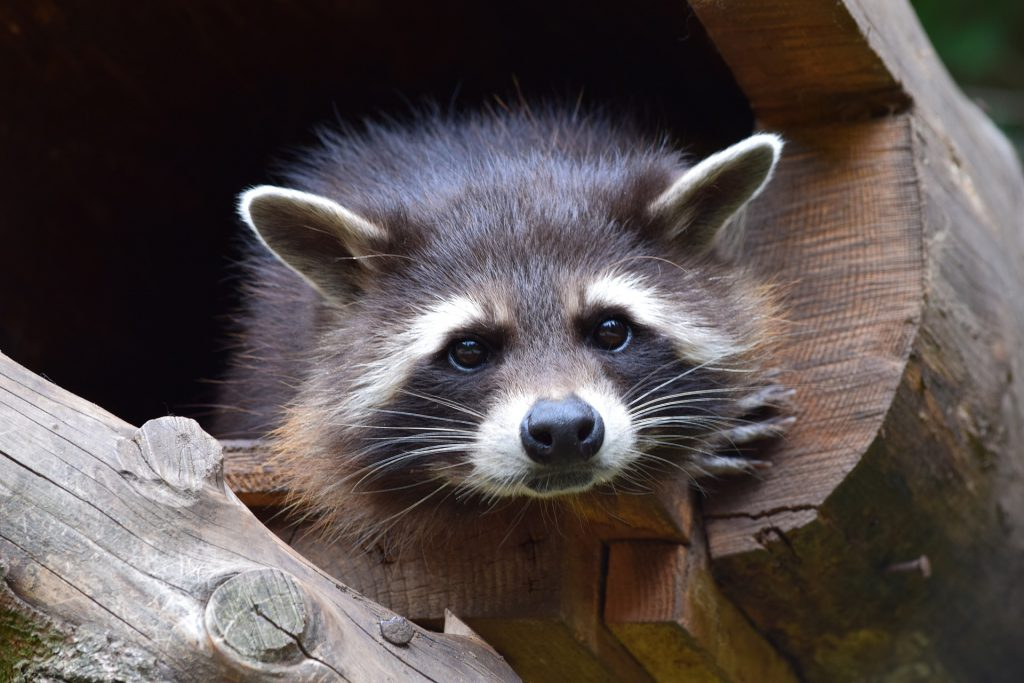 raccoon-853830_1920